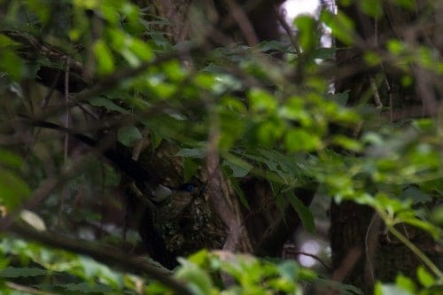 Japanese Paradise Flycatcher Nesting