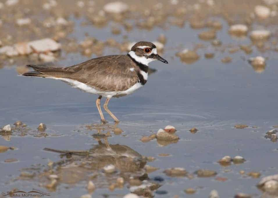 Killdeer – Wash, Fluff and Dry