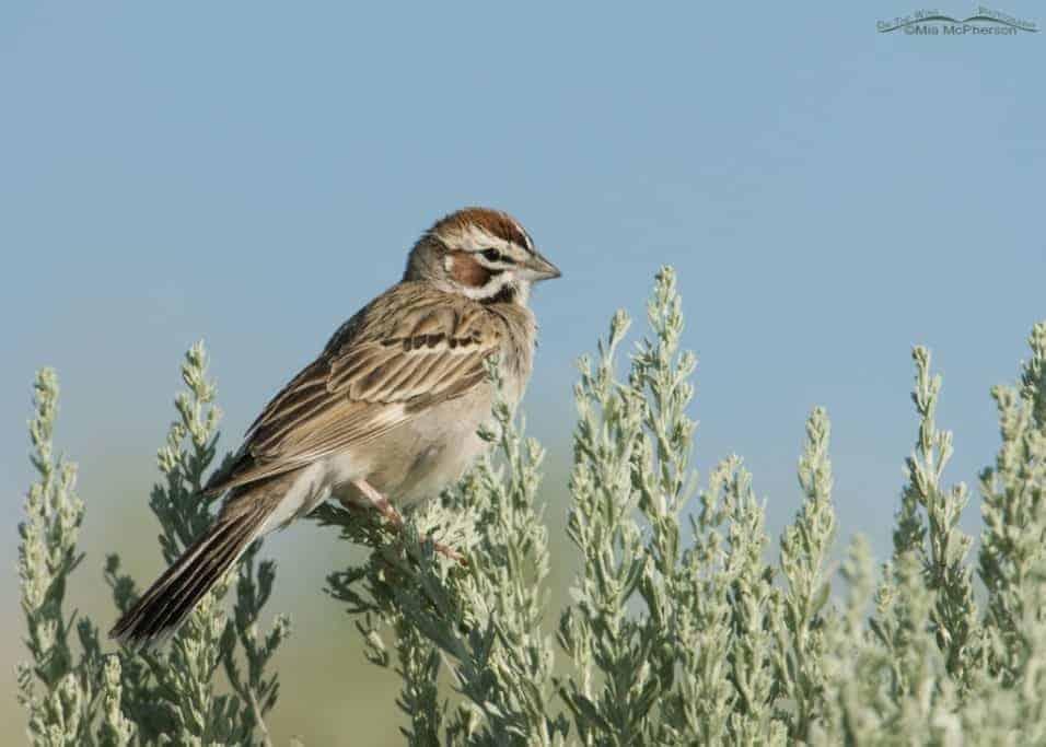 Lark Sparrow on Antelope Island