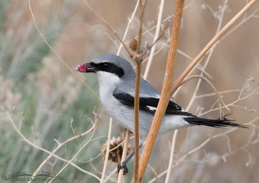 A Loggerhead Shrike and it's prey