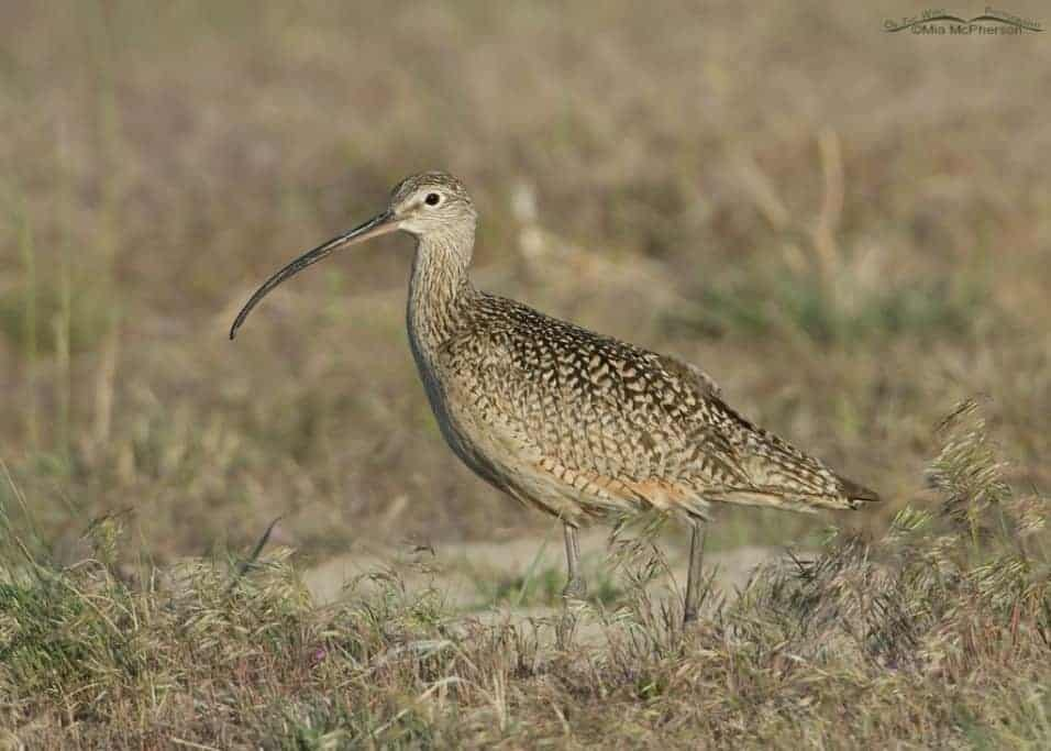 Long-billed Curlew in Cheatgrass