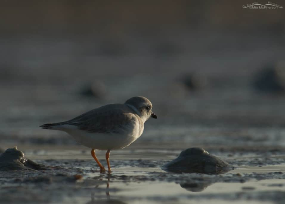 Sidelit Piping Plover