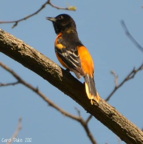 The Brilliant Baltimore Oriole (Icterus galbula)