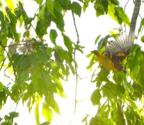 Female Baltimore Oriole Flying from Nest in Native Black Cherry