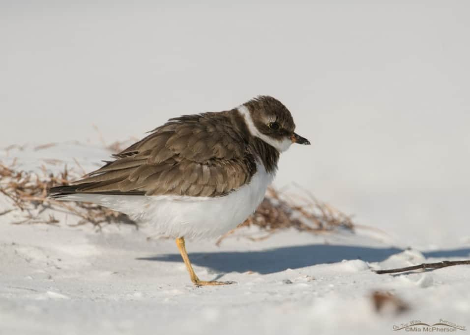 Semipalmated Plover – How to get Sandy Pants