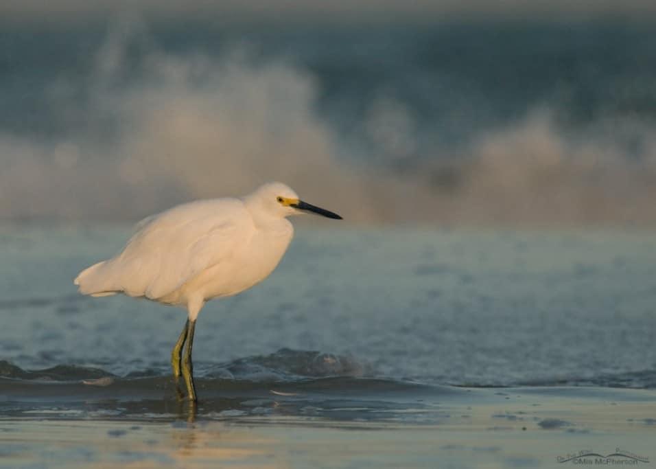 Snowy Egret – Moody Blues