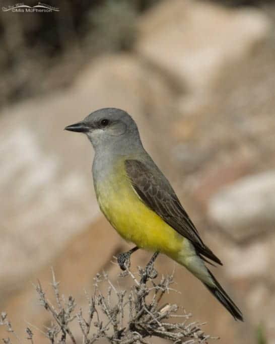Western Kingbird – A Consolation Prize