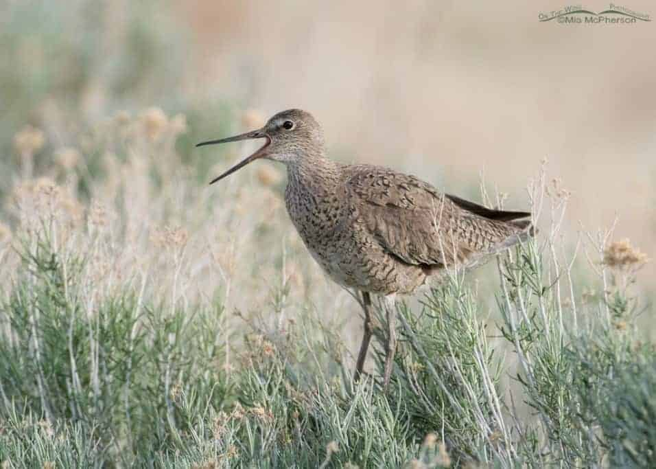 Willets – In Utah and Florida