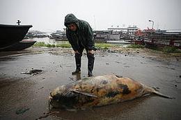 Yangtze finless porpoise on the edge of extinction