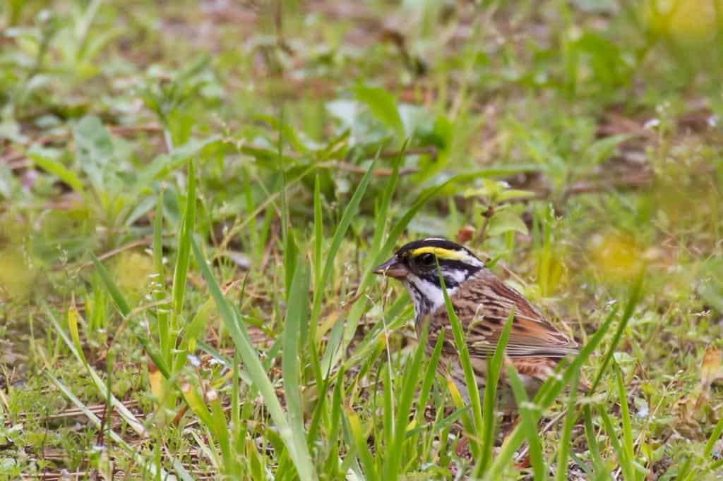 Yellow-browed Bunting (male)