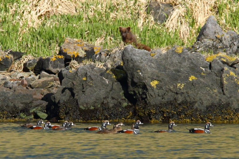 An Arctic Fox carefully watches a flock of Harlequin Ducks in Yankicha Caldera. Image by Adam Riley