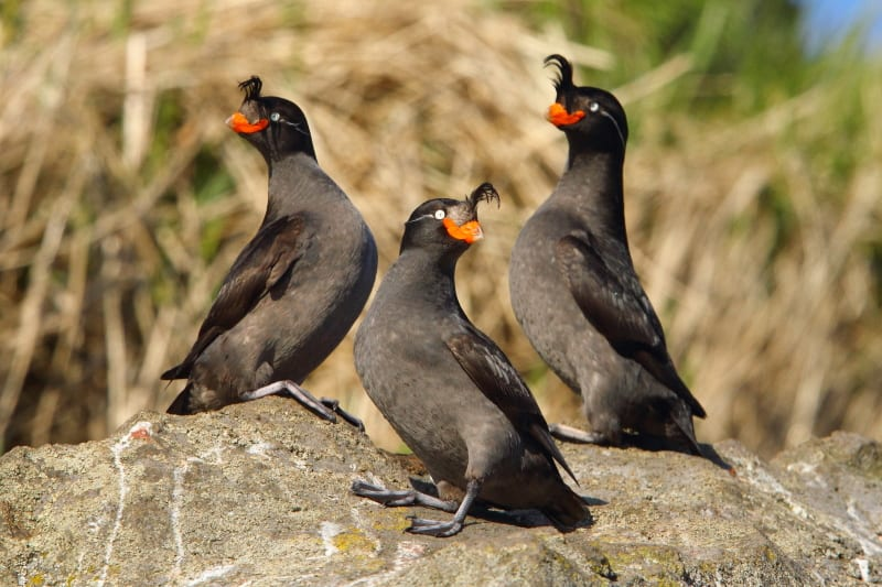 Three of the hundreds of thousands of Crested Auklets that came to roost in Yankicha caldera. Image by Adam Riley