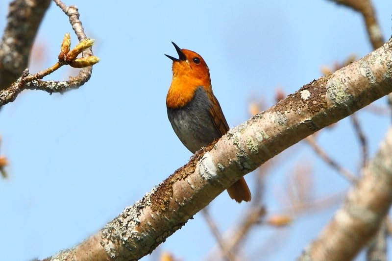 A singing Japanese Robin on Kunashir Island. Image by Adam Riley