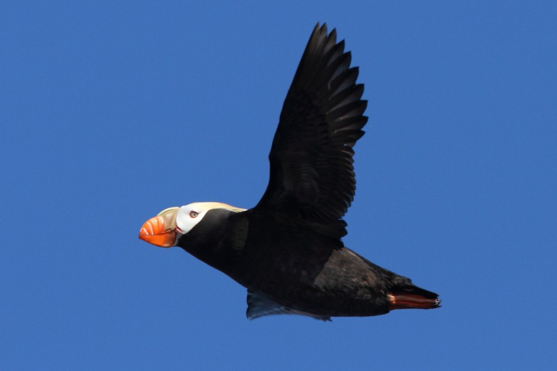 Tufted Puffin in flight. Image by Adam Riley