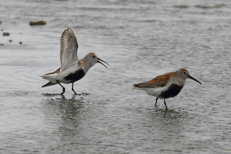 Displaying Dunlin at Nikol'skoye on Bering Island. Image by Adam Riley