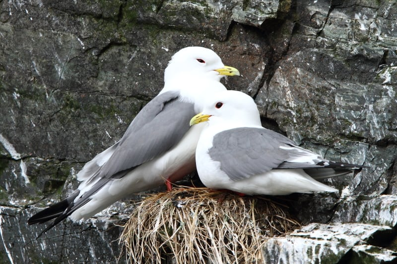 A nesting pair of Red-legged Kittiwakes – another species restricted to remote areas of the North Atlantic. Image by Adam Riley