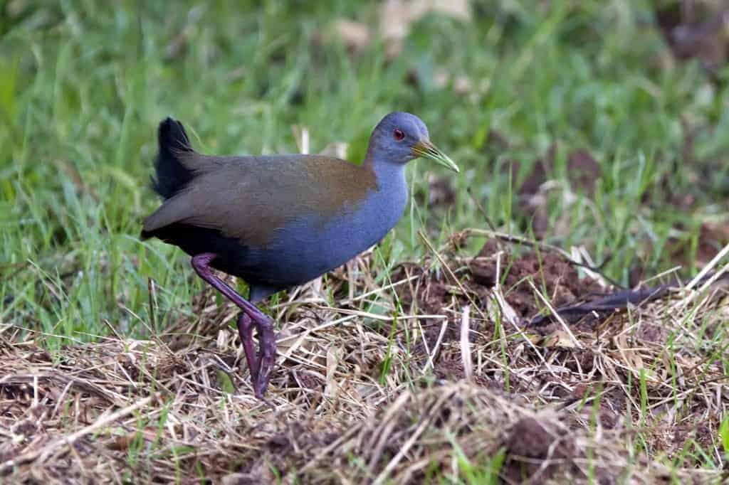 Slaty-breasted Wood-Rail / Aramides saracura
