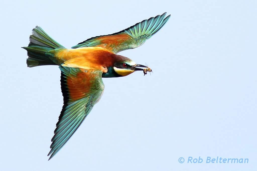European Bee-eaters at Lesbos, Greece