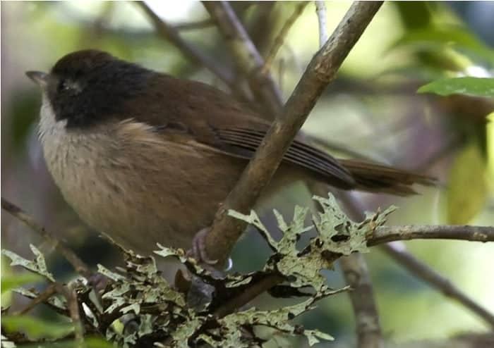 Brown Creeper,  Pipipi,  Finschia novaeseelandiae rakiura