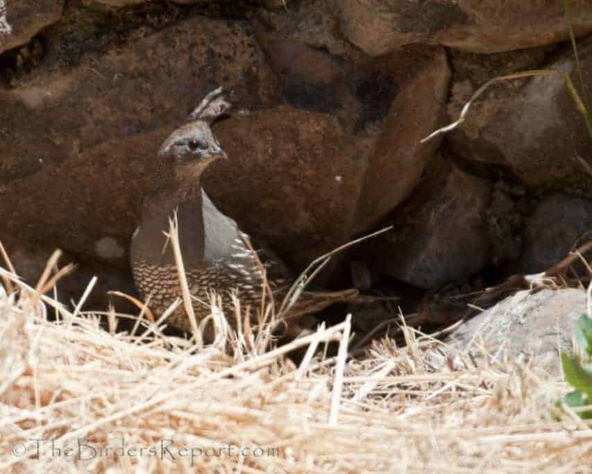 California Quail Female with Chicks