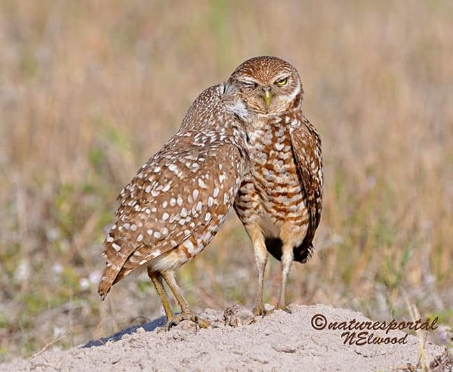 Burrowing Owl Time