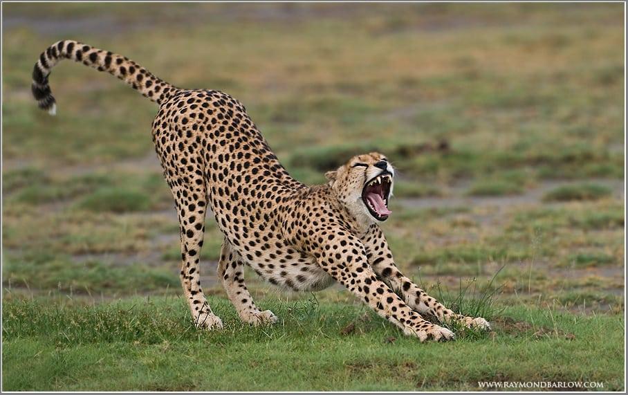 Cheetah (8)