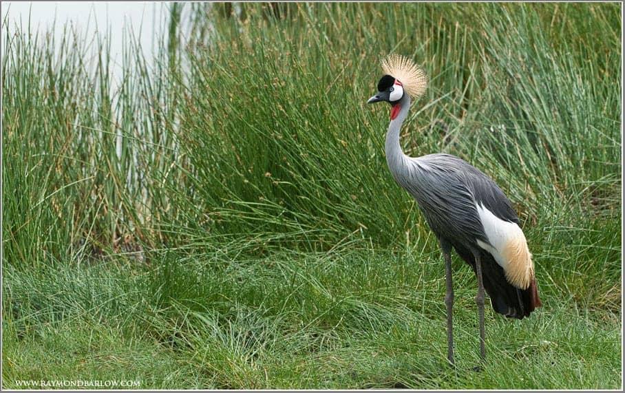 Raymond Barlow's Birds of Tanzania Part III