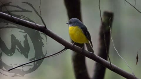 Eastern Yellow Robin – (Eopsaltria australis)