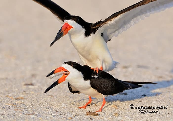 The Black Skimmers Return