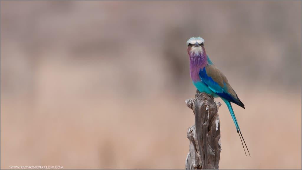 Raymond's Birds of Tanzania Part II
