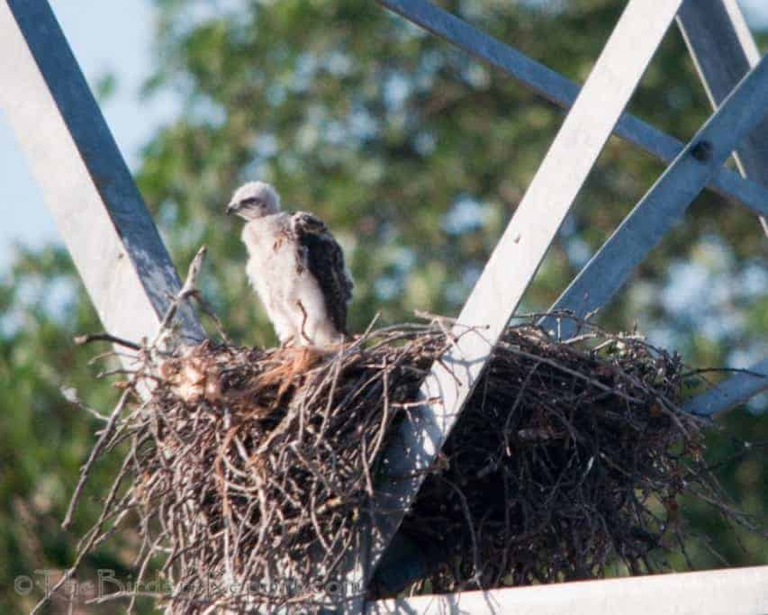 Red-tailed Hawks Nesting on High Power Tower