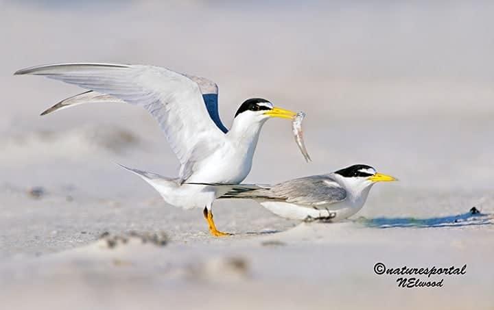 Florida's Least Terns
