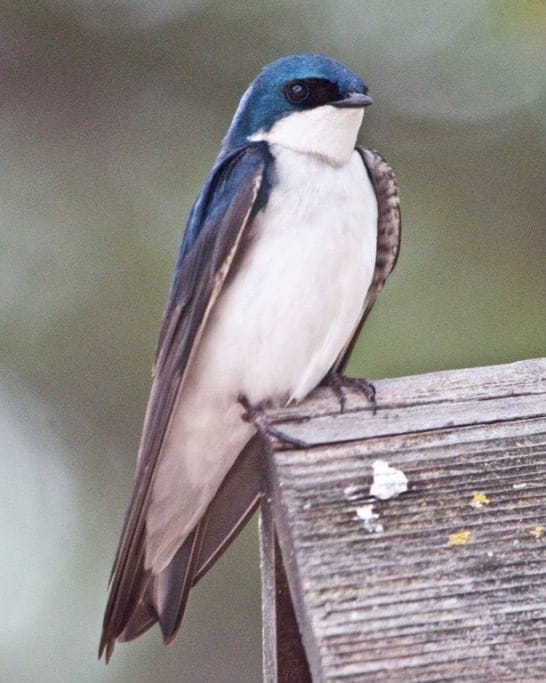 Tree Swallows and Their Nestlings