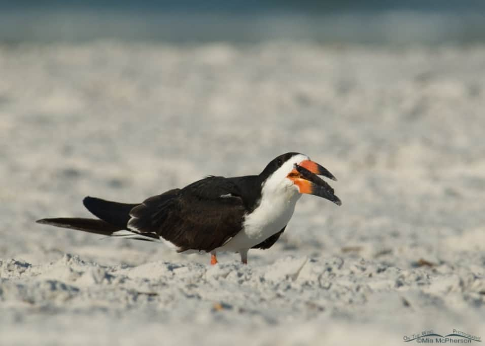 Odd Black Skimmer Behavior