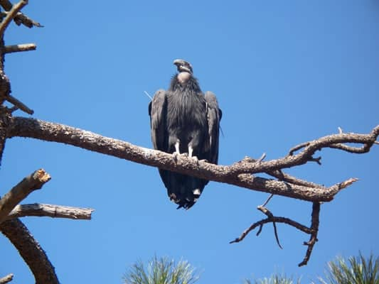 California condors numbers pass the 400 mark for the first time for 100 years