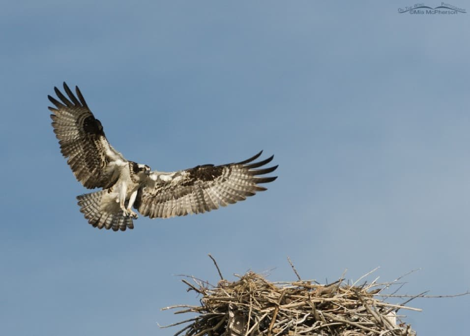 Female Ospreys Have Flare!