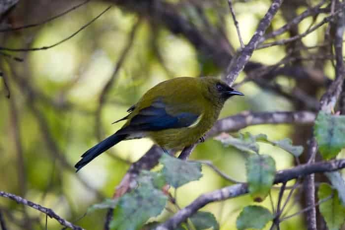 Bellbird,  Anthornis melanura