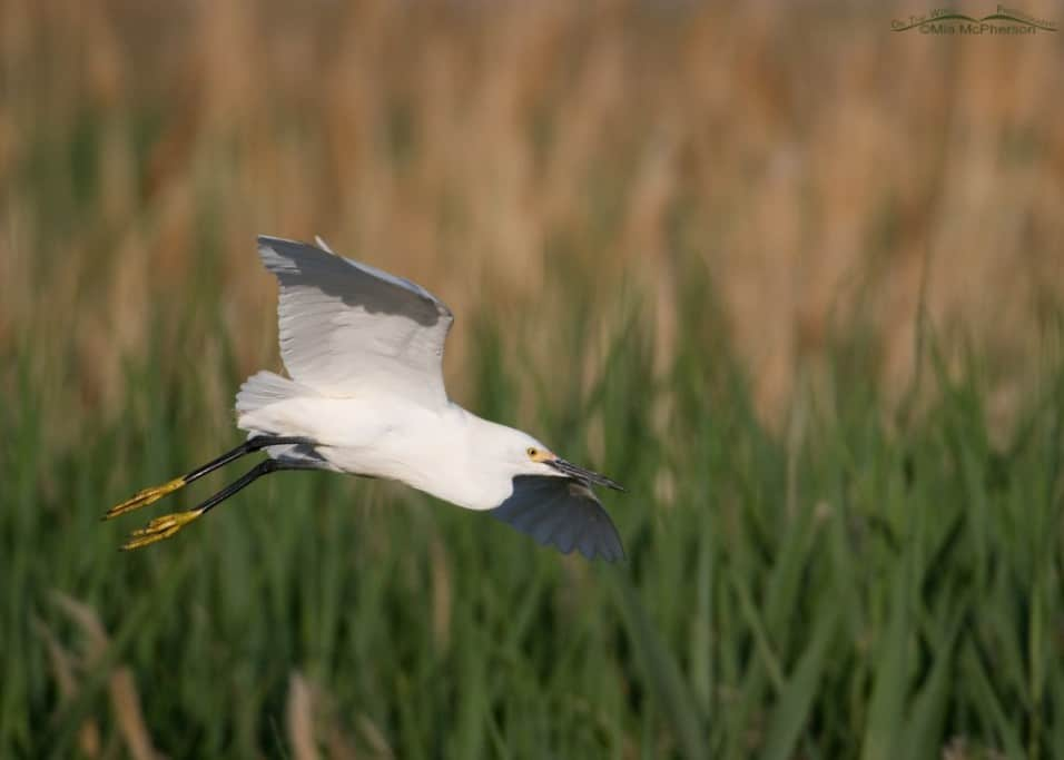 Birds of Bear River MBR – Snowy Egrets