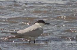 Unusual tern settled in Llanelli, Wales