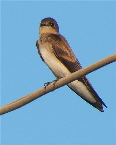 Northern Rough-wing Swallow from Baja Mexico