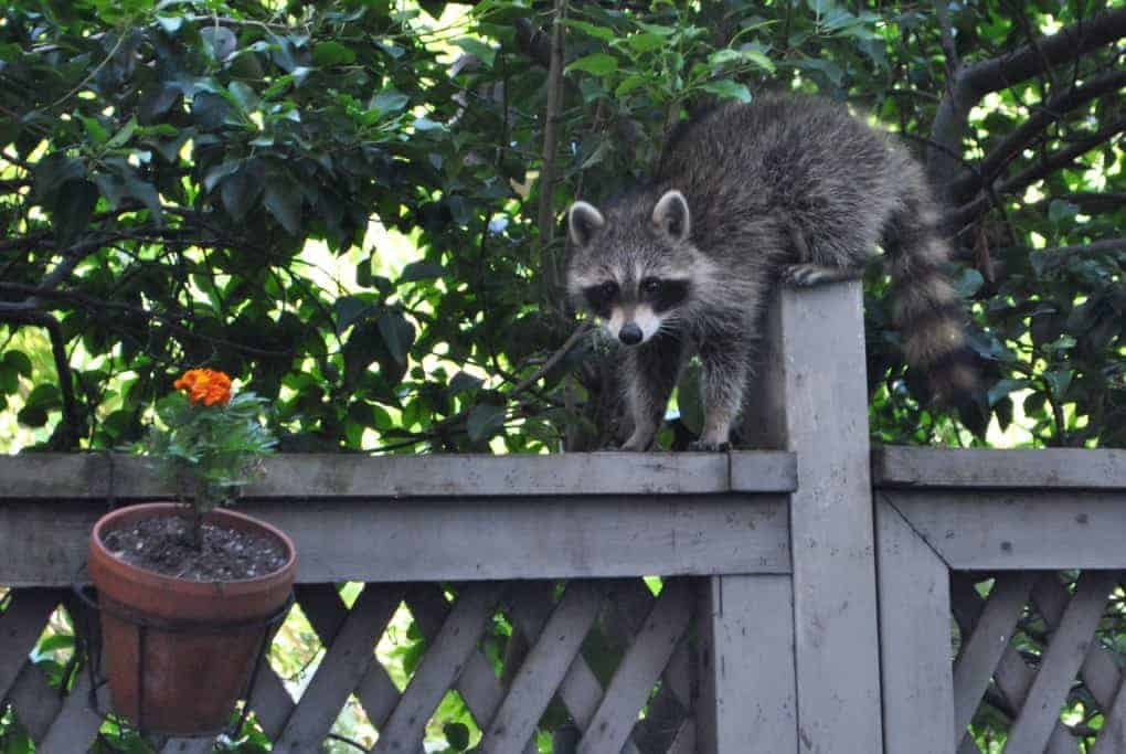 New York City Raccoon