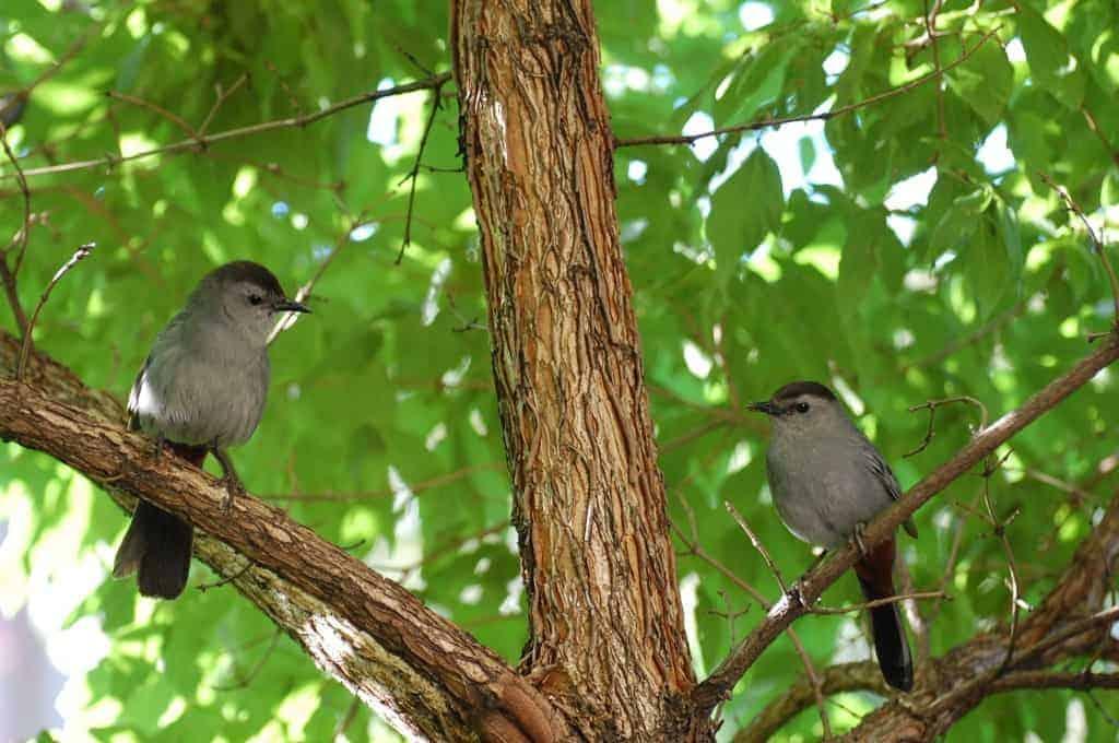 Busy Gray Catbirds
