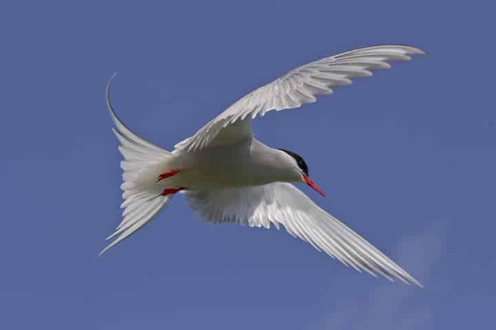 Birding in British Columbia – Arctic Tern (Strena paradisaea)