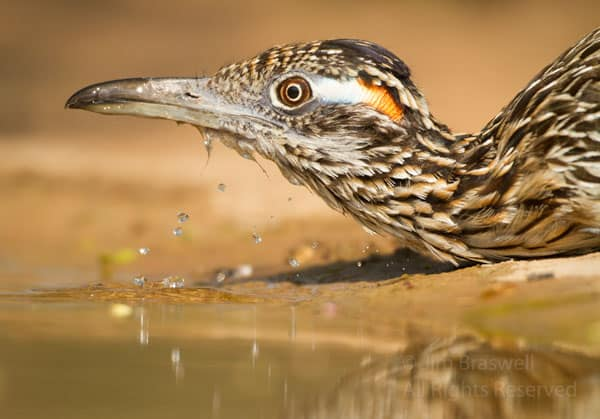 Greater Roadrunner drinking from a water hole