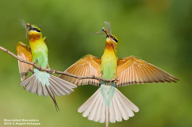Blue-tailed Bee-eaters with prey