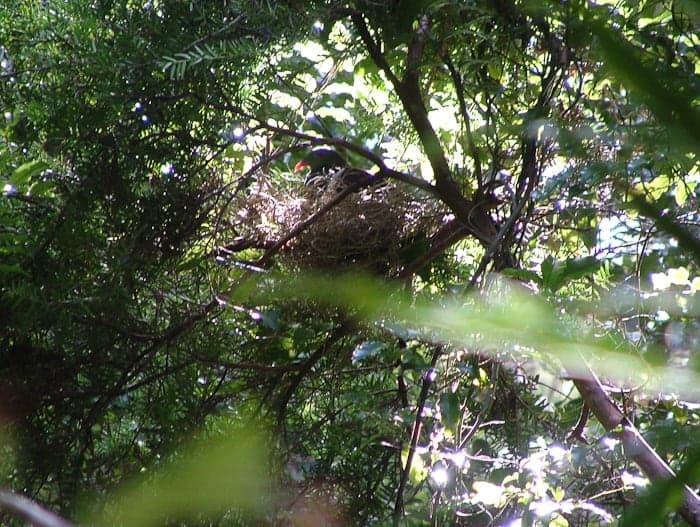 Wood Pigeon,  Kukupa (Kereru),              Hemiphaga novaeseelandiae