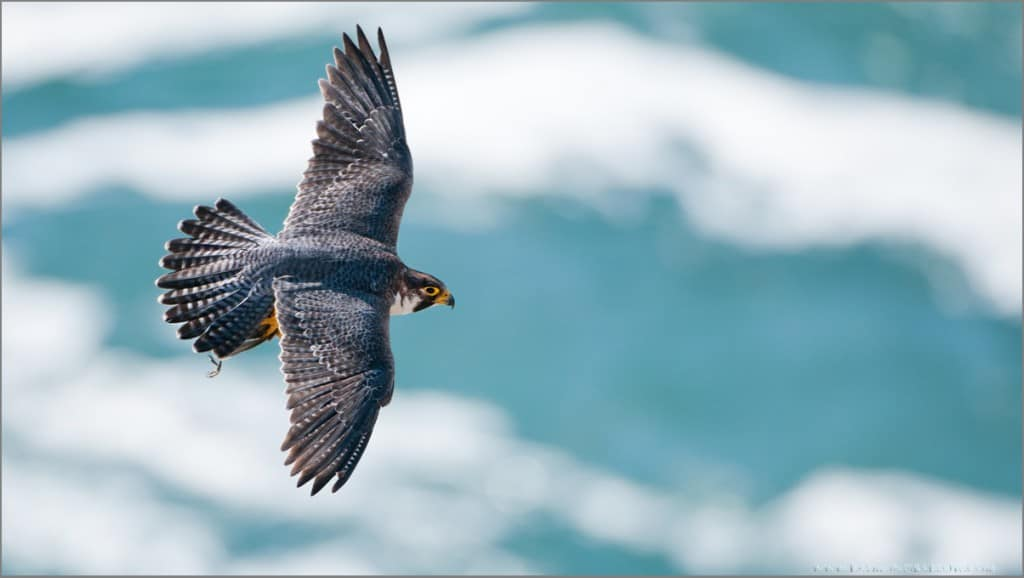 A Family of Peregrines Part 1
