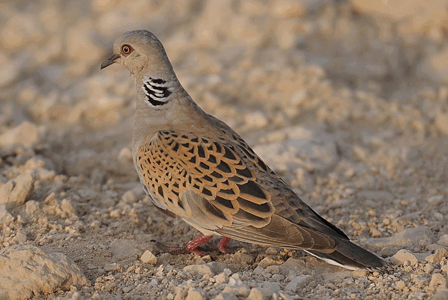 Breeding European Turtle Doves in Saudi Arabia and Bahrain