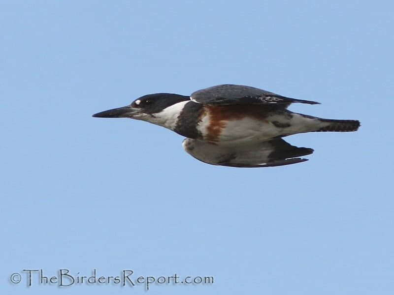 Female Belted Kingfisher (Megaceryle alcyon)