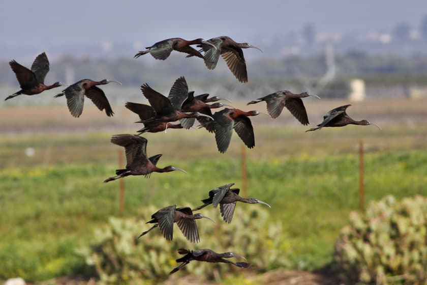 Glossy Ibis colours showing up in the light